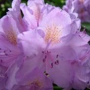 Guide til jorden omkring en rhododendron